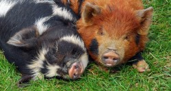 30 Nuggets of Information About Kunekune Pigs