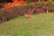 The Wandering Fox
