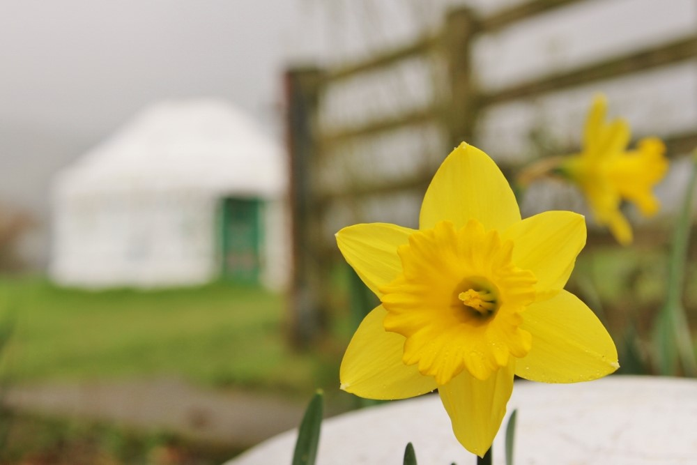Yurt Nanny Iris and spring daffodils.