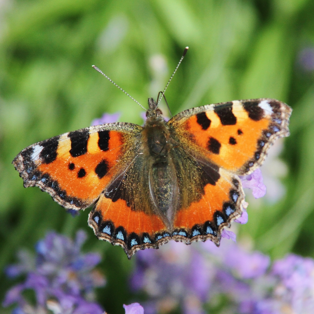 A tortoiseshell butterfly in the garden at Barnutopia.