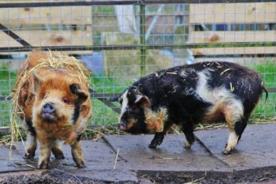 Corporate retreat theme kunekune pigs at Barnutopia