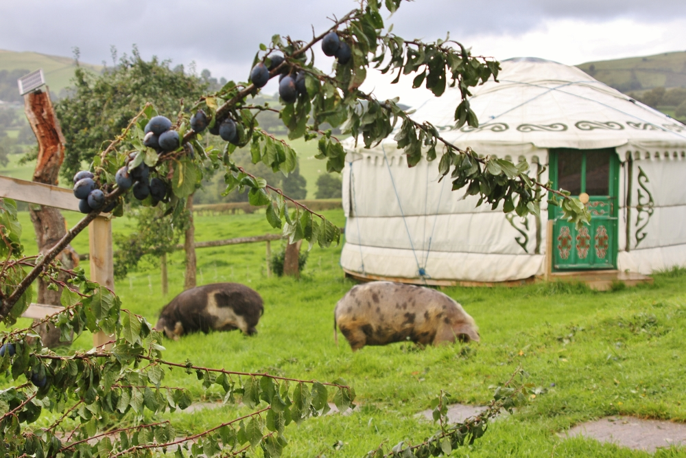 Kunekune pigs Fiona and Felix help clear up fallen damsons.