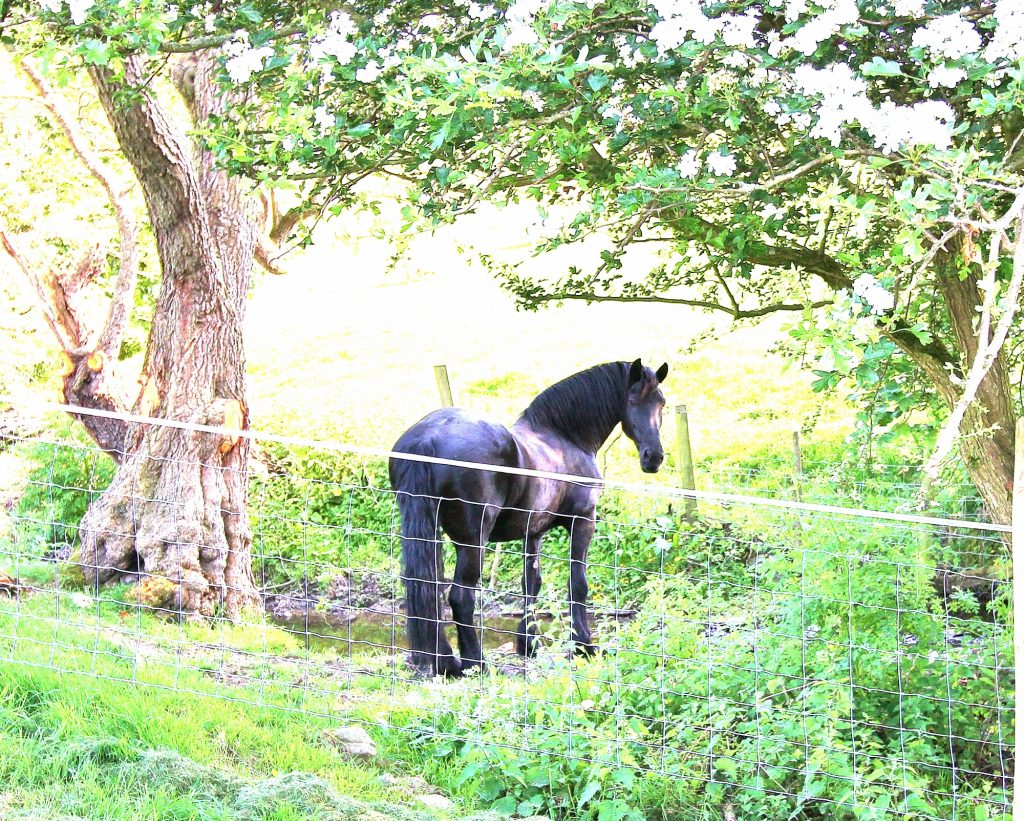 Padron of Lea Ness, Friesian horse.