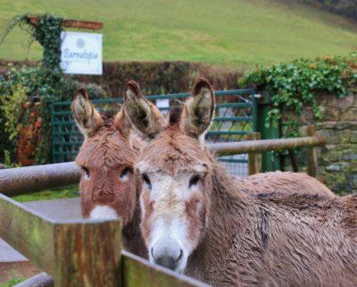 wedding donkeys Andi and Sassy ~ Barnutopia
