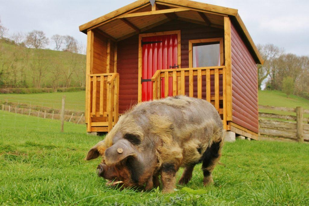 39 reasons: Felix the kunekune pig