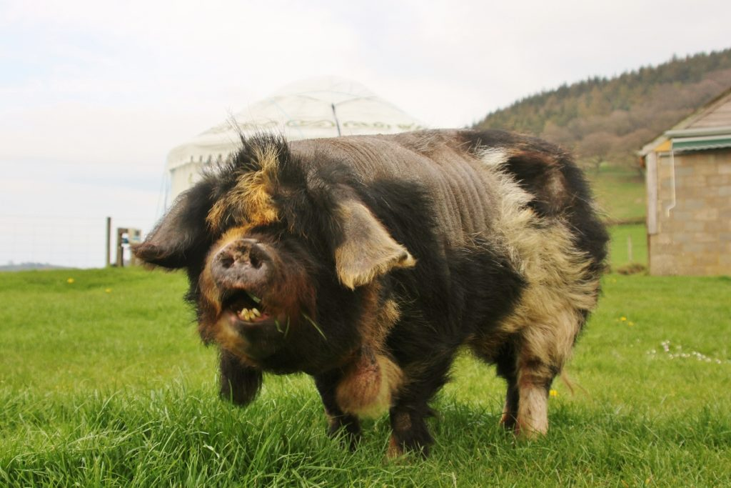 39 reasons: Fiona the kunekune pig