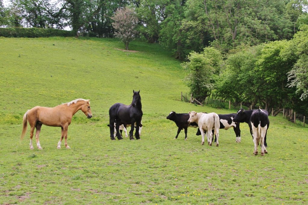 39 reasons: Horses and visiting cattle having a meeting