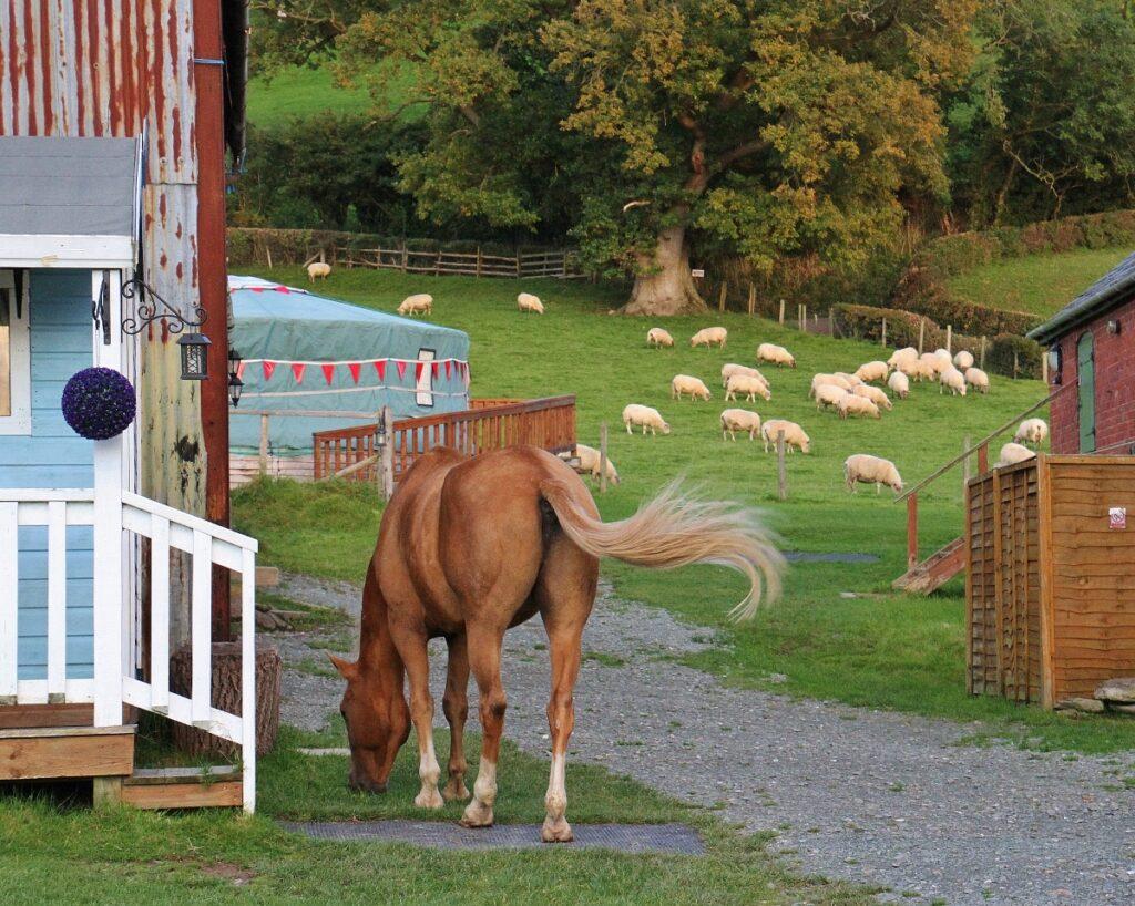 SPirit, North American mustang (wild horse)
