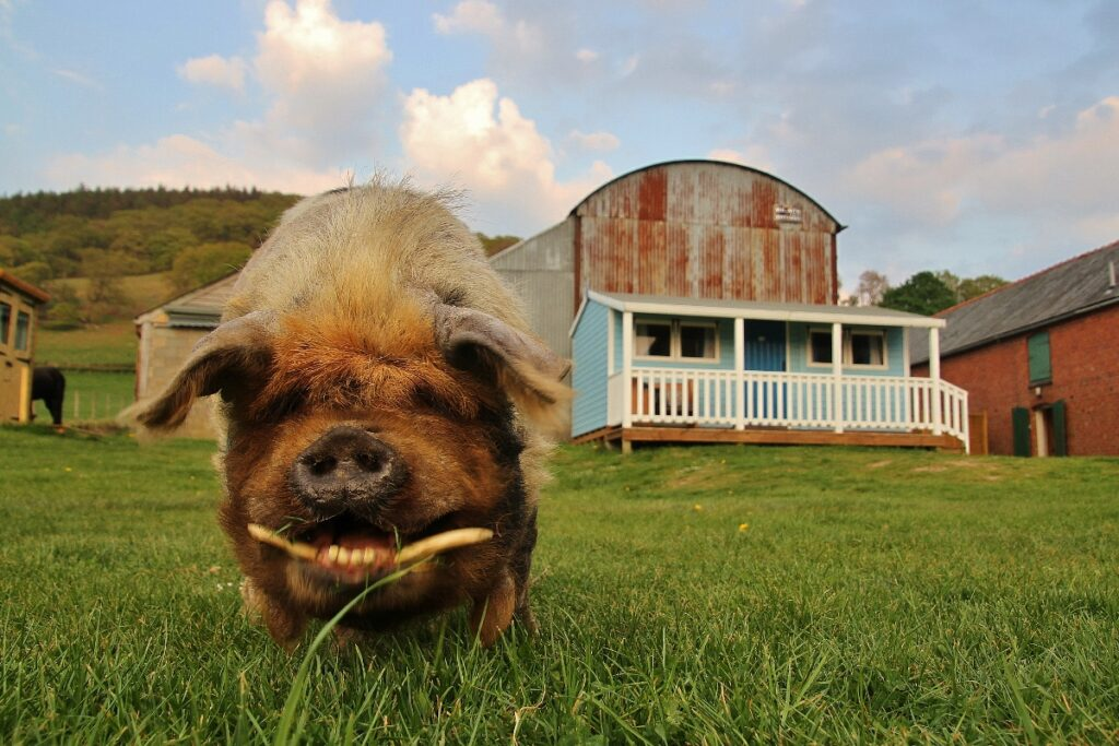 Feliz, one of the Barnutopia kunekune pigs